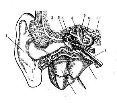 Схема строения уха: 1 — ушная